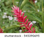 Small photo of blooming red flower of lesser galangal a herbal plant