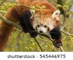 red panda clambering in... | Shutterstock . vector #545446975