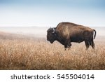 American Bison, buffalo, profile standing in tall grass prairie with light fog in background