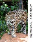 Small photo of Leopards are ambush prey