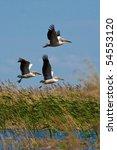 pelicans  pelecanus onocrotalus ...   Shutterstock . vector #54553120