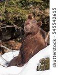 brown bear  ursus arctos | Shutterstock . vector #545542615