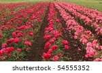 Stock photo field of red rouses 54555352