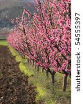 Row Of Blooming Peach Trees In...