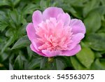 Large Pink Peony  Paeonia L.