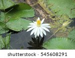 white lotus in the water lagoon ... | Shutterstock . vector #545608291