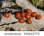 Nine Ladybirds  Coccinella...