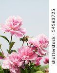 close up of pink peony | Shutterstock . vector #54563725