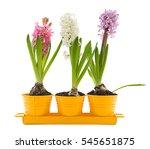 Vibrant Colored Hyacinth Sprin...