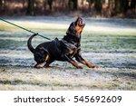 Aggressive Dog  Rottweiler