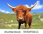 A Scottish Highland Cattle Wit...