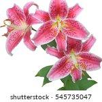 stargazer lilies  | Shutterstock . vector #545735047