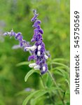 Small photo of Mexican bush sage, Salvia leucantha, flower of the Lamiaceae family originating in Mexico and widely used in gardening - Sao Paulo, SP, Brazil - March 20, 2016