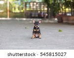 black miniature pinscher... | Shutterstock . vector #545815027