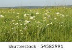 camomile field in the morning - stock photo
