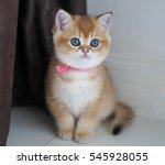 adorable golden shaded kitten   Shutterstock . vector #545928055