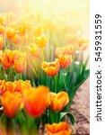 beautiful yellow tulip flower... | Shutterstock . vector #545931559