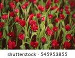 tulips  flower   Shutterstock . vector #545953855