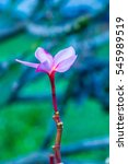 close up of pink frangipani... | Shutterstock . vector #545989519
