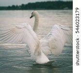 Swan On Lake Water In Sunny Da...