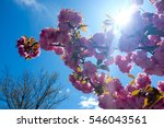 tree in bloom with blossoms on...   Shutterstock . vector #546043561