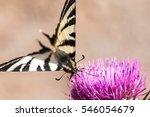 Scarce Swallowtail  Iphiclides...