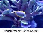 Small photo of Tropical fish Naso Lituratus Acanthuridae