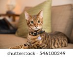Adorable Toyger Kitten With...