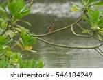 The Common Kingfisher On A Tre...