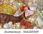 Small photo of Cottonmouth (Agkistrodon piscivorus) Snake exhibiting defensive behavior