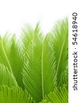 Leaves Of  Cycas  Tree Isolate...