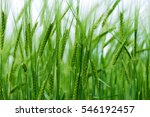 Barley Grain Is Used For Flour  ...