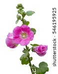 Small photo of Malva (Alcea rosea hollyhock) pink flower on white background