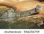 A Gharial Resting His Head On...