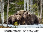she bear and bear cubs. adult... | Shutterstock . vector #546259939