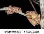 Small photo of Harlequin tree frog (Rhacophorus pardalis) of Tawau hill, Sabah, Borneo, Malaysia