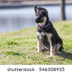 Small photo of Cute, adorable, three-month-old AKC registered German shepherd puppy sits near a lake.
