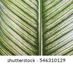 calathea majestica m.kenn. cu... | Shutterstock . vector #546310129