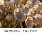 Dried Poppy Head. Opium Drugs...