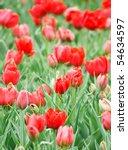 tulip field in spring | Shutterstock . vector #54634597