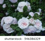 Blooming In The Garden Rose...