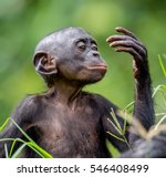 Close Up Portrait Of Bonobo Cu...
