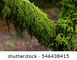Small photo of Tree branch with Amblystegium serpens or creeping feather moss