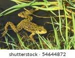 Big Green Frog  American...