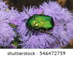Rose Chafer Or The Green Rose...