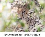 Cheetah Hiding Inside The Bush.
