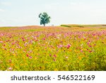 field of cosmos flowers ... | Shutterstock . vector #546522169