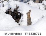 Cottontail Bunny Rabbit...