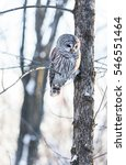 Stock photo the barred owl is a large typical owl native to north america best known as the hoot owl for its 546551464