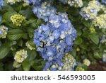blue hydrangea   Shutterstock . vector #546593005
